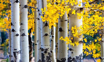 Here's What's Killing Your Aspens