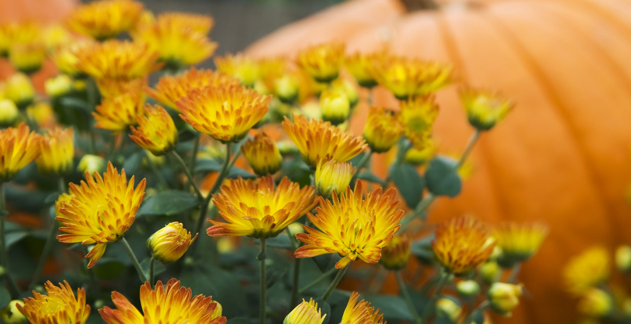 5 Simple Tips To Keep Fall Mums Alive Colorado Home And Garden