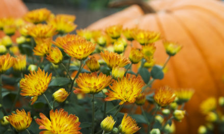 5 Simple Tips To Keep Fall Mums Alive