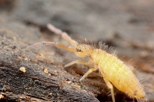 Springtail Photo Credit: Andy Murray (iStock).