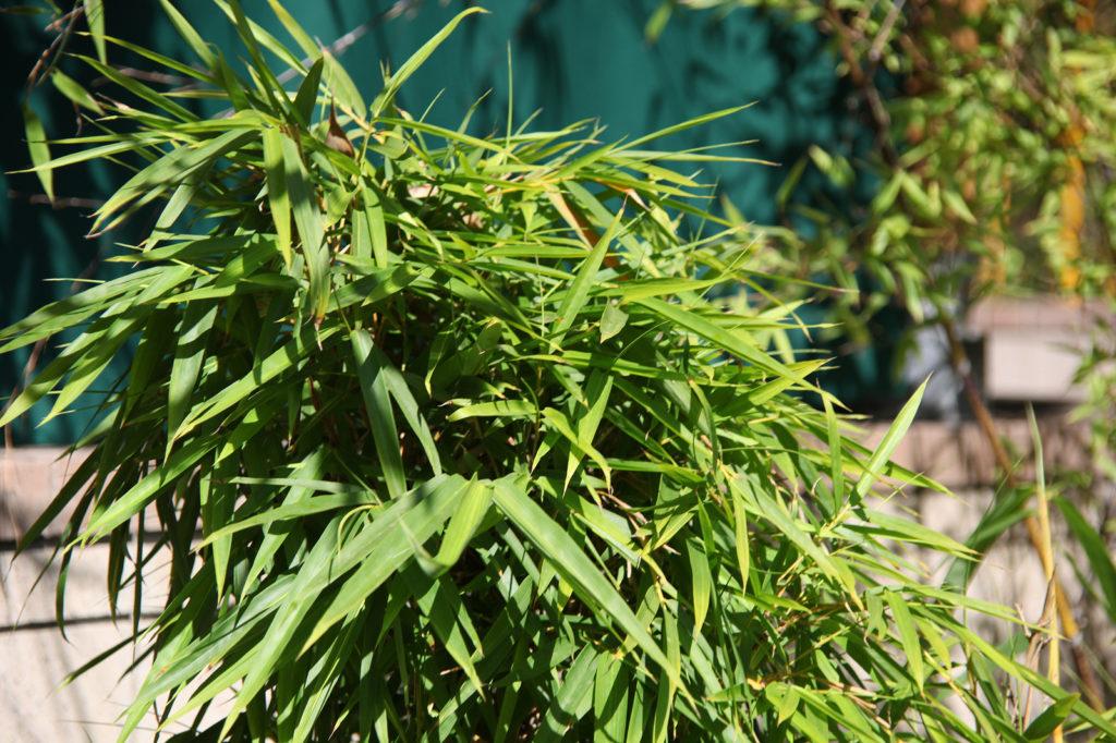 Bamboo Palm Photo Credit: Tim Evanson (Flickr).