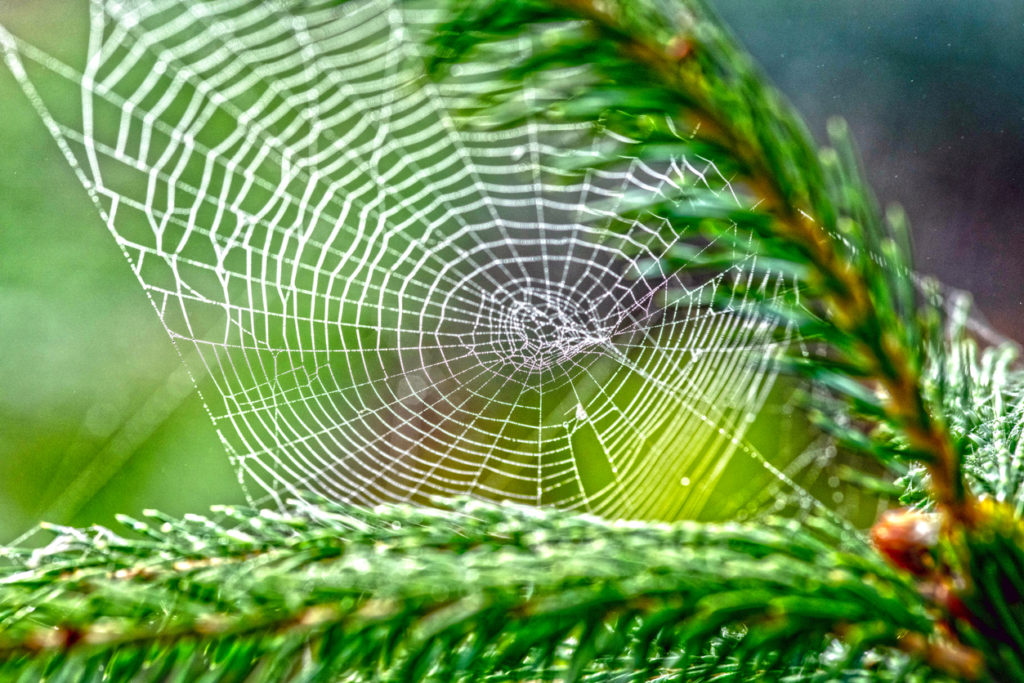 Spider Web Tree Photo Credit: Alphotographic (iStock).