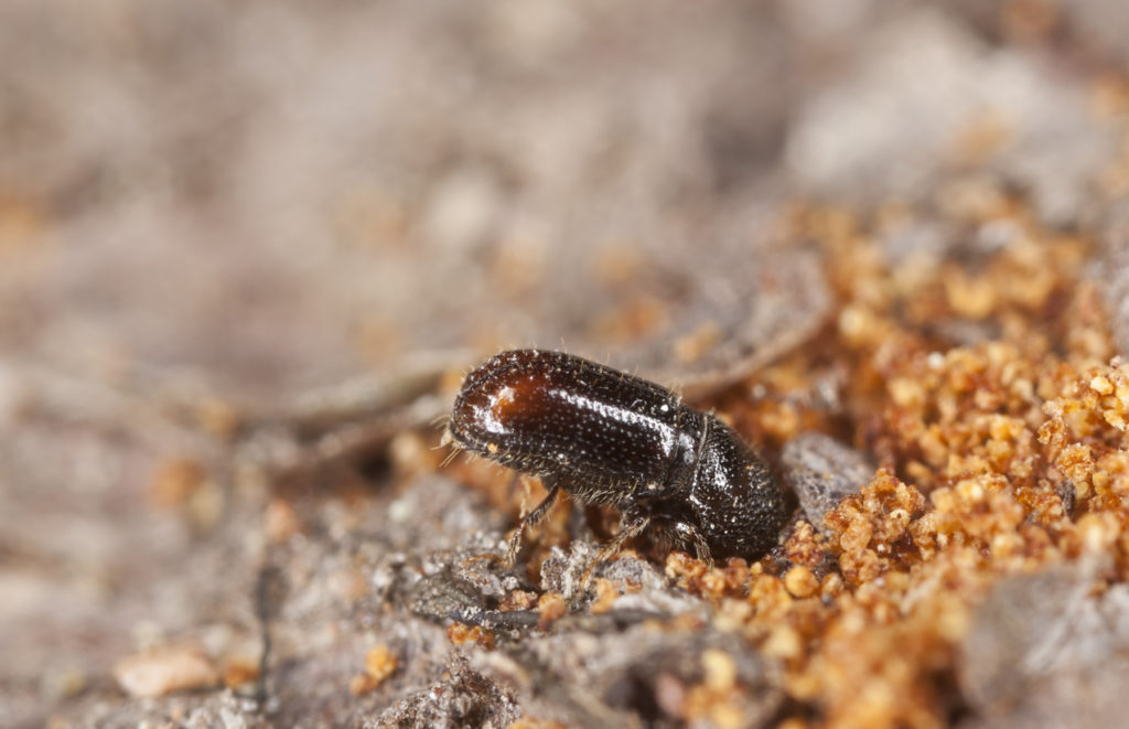Bark Beetles Photo Credit: Henrik_L (iStock).