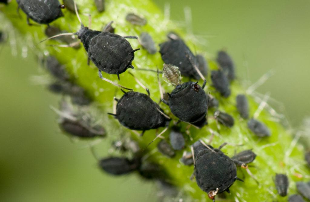 Aphids Photo Credit: Chris Mansfield (iStock).