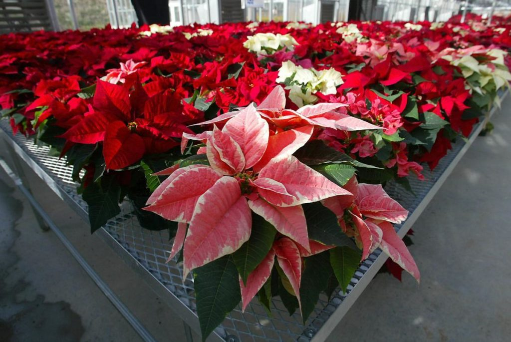 Hundreds of poinsettias in pink, white and red fill the University of Maryland Research Greenhouse Complex in College Park, Md., in 2003. THE ASSOCIATED PRESS file