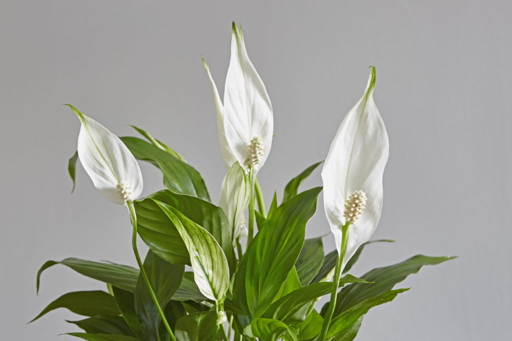 Peace Lily, Photo Credit: cadifor (iStock).
