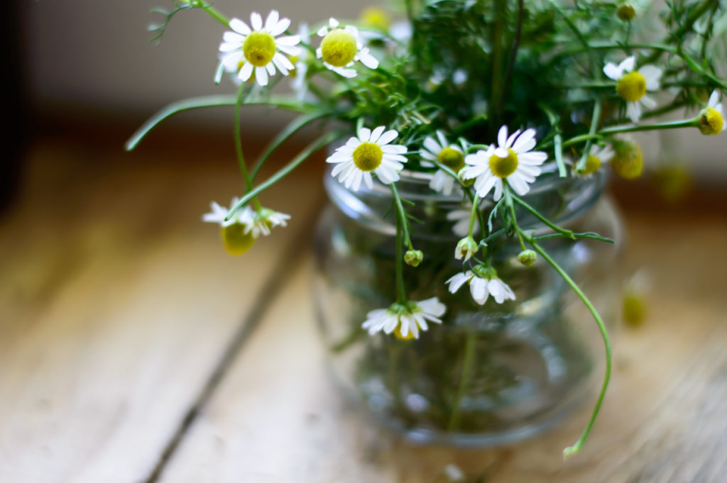 Chamomile Daisy, Photo Credit: Milaspage (iStock).