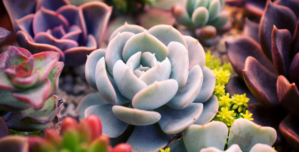 Everything You Need To Know About Growing Succulents