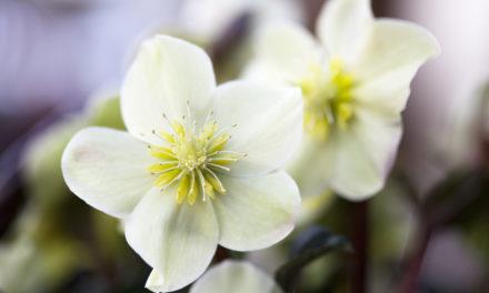 Hellebores Spring-Blooming Flowers