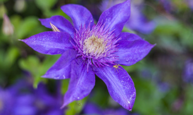 How to Prune Clematis